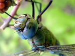 Title: Blue Emperor  - Anax imperator
