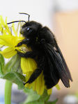Title: carpenter bee
