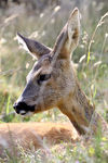 Title: Female roe deer