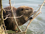 Title: Coypu eating wood