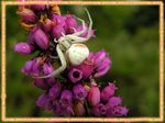 Title: Crab spider in ambush