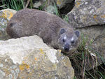Title: Rock Hyrax  (with rocks)