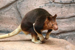 Title: Goodfellow Tree-kangaroo
