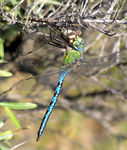 Title: Dragonfly for dinerOlympus C770 UZ