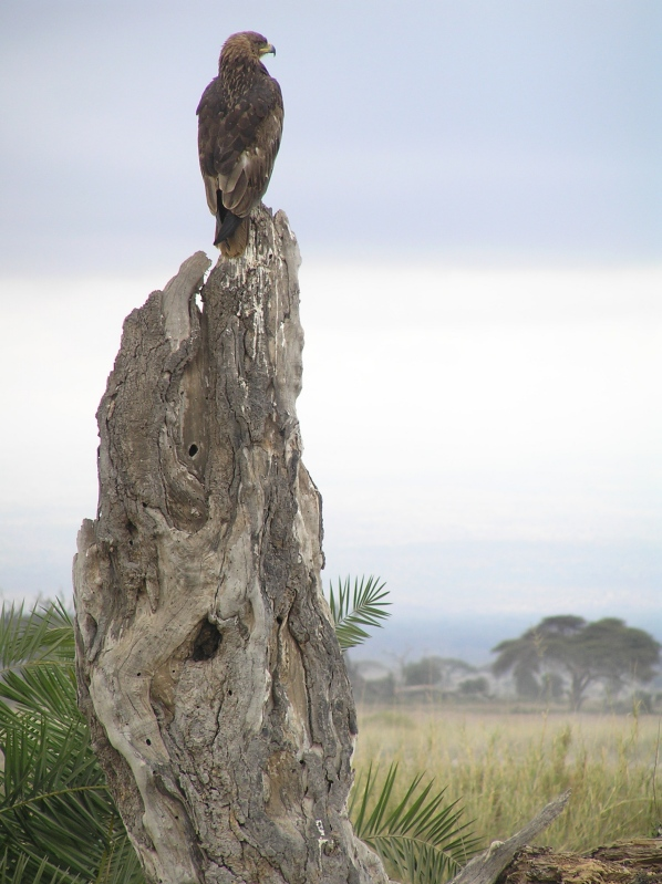 Steppes Eagle (with steppes)