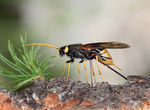 Title: horntail ovipositing