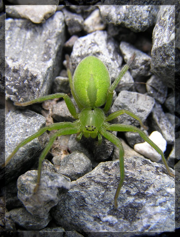 Green huntsman spider