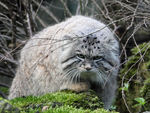 Title: Pallas's cat