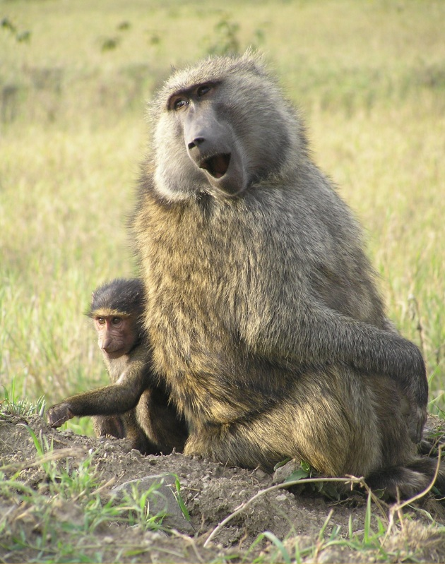 100th pic baboon