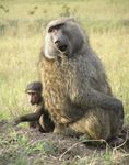 Title: 100th pic baboon