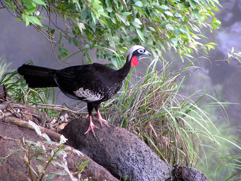 black fronted piping guan