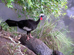 Title: black fronted piping guan