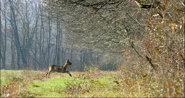 French deer