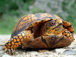 Title: Box Turtle