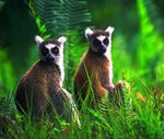 Title: Ring Tailed Lemurs