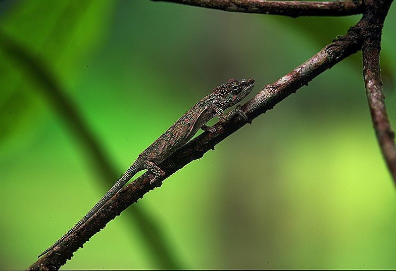 Short Horned Chameleon