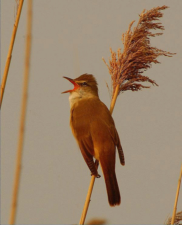 ** Great Reed Warbler **