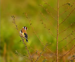 Title: ** GOLDFINCH **