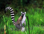 Title: RING-TAILED LEMUR