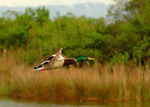Title: MALLARD IN FLIGHT