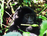 Title: Baby Mountain Gorilla