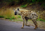 Title: Hyena... on the road