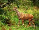 Title: GREATER KUDU (female)