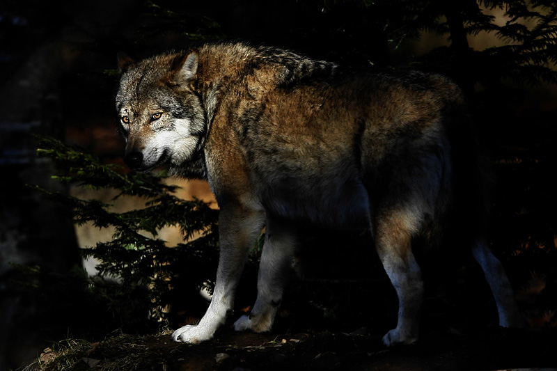 Wolf in shadow - Lupo in Ombra