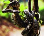 Title: Madagascar Tree Boa