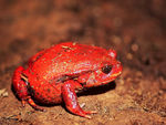 Title: RED POISON FROG