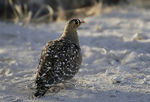 Title: DOUBLE-BANDED SANDGROUSE