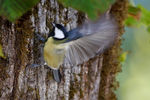 Title: �� Parus  Major ��
