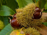 Title: Chestnuts