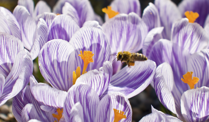 Bee and Crocuses