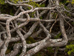 Title: Gnarly branches