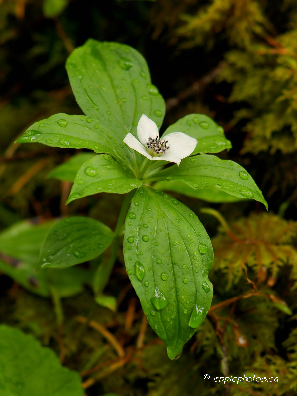 Bunchberry #2