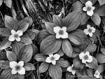 Title: Bunchberry Black and White