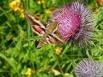 Title: Hummingbird Moth on Thistle