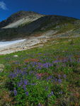 Title: Field of Lupines