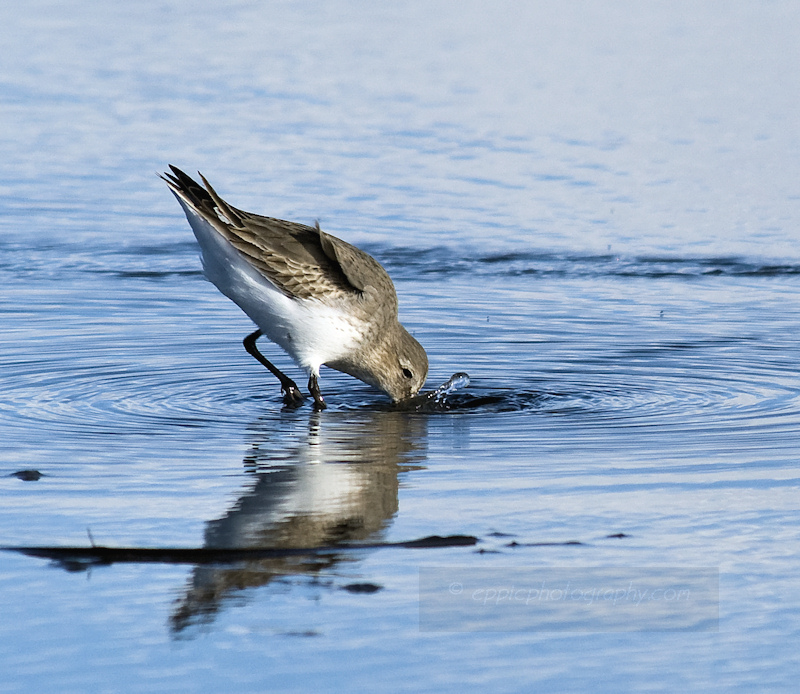 Dipping Sandpiper