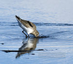 Title: Dipping Sandpiper
