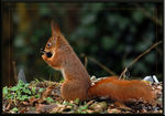 Title: Eurasian red squirrel