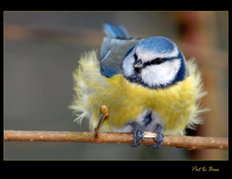 again a blue tit