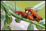 Title: Common Red Soldier Beetle