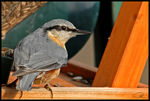 Title: Wood Nuthatch