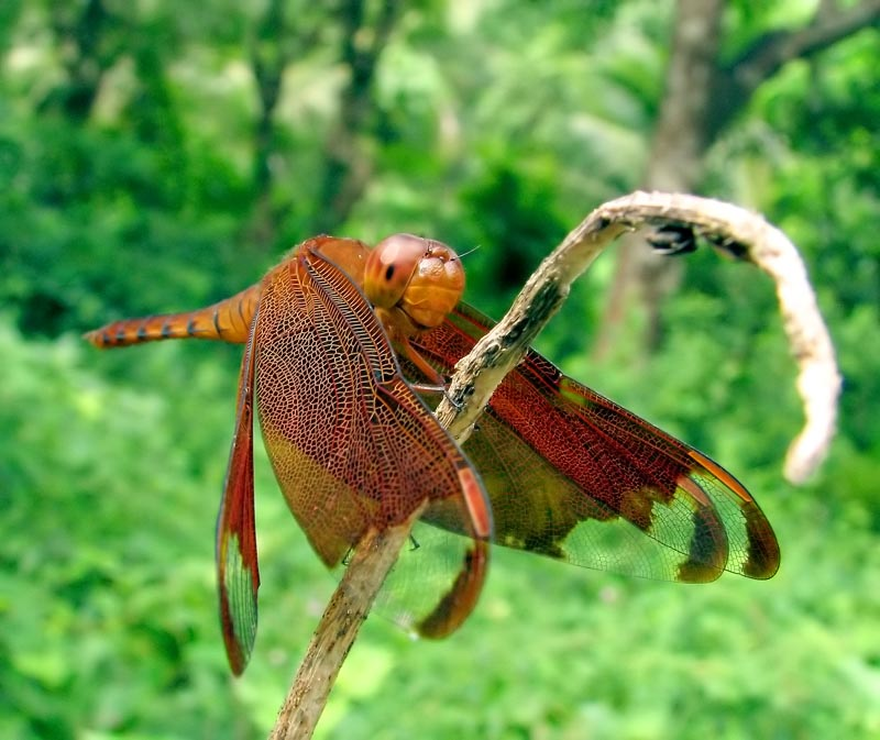 brown dragon fly