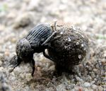 Title: dung beetle