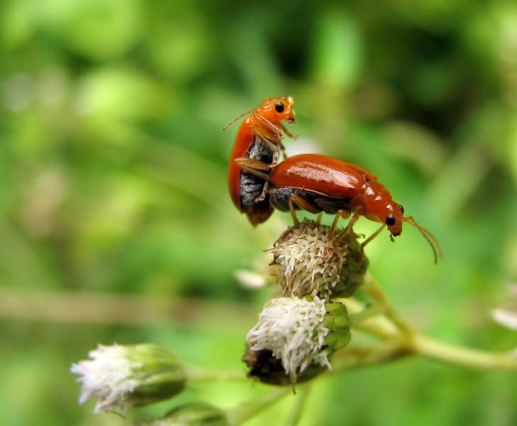 mating red bugs 1