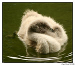 Title: Tired cygnet