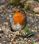 Title: Robin Red Breast
